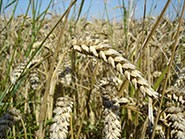 Since 1980, the rate of increase in wheat yields has declined. Analysis of the w