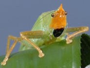 South American cricket ears shown to rival human hearing