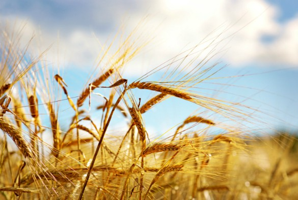 Scientists create first map of the wheat epigenome